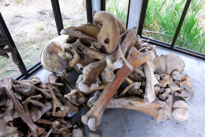 The remains of an elephant after its death.